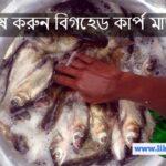 চাষ করুন বিগহেড কার্প মাছ