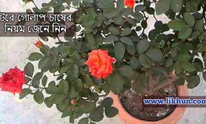 টবে গোলাপ চাষের নিয়ম জেনে নিন