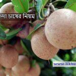 সুস্বাদু সফেদা চাষের নিয়ম